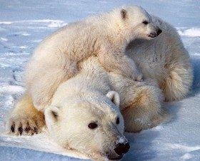 Orso-polare-bianco[1]