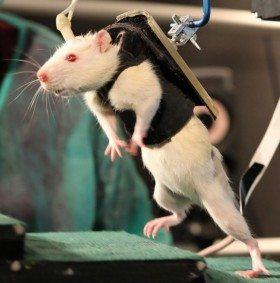 Image: Rat walks up steps
