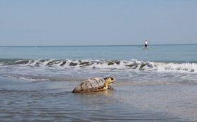 rilascio-tartaruga-485x300