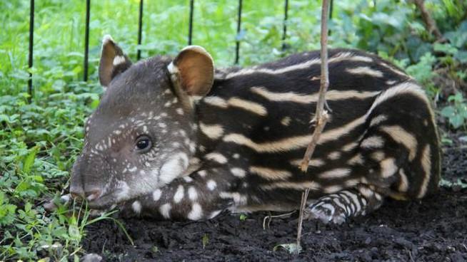 tapira