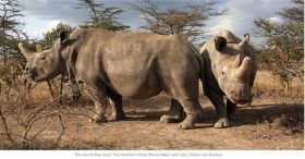 Rinoceronti-Bianchi-Del-Nord